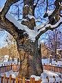 Кочубеївські Дуби у Регіональному ландшафтному парку «Диканський» 7.jpg
