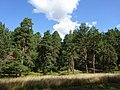 Лес у поселка Пески 1.jpg