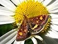 Метелик вогнівка.jpg