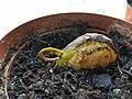 Рождение манго. На старте новой жизни. Появление на свет.jpg