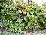 Синий дальневосточный виноград ф4.JPG