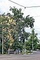 Тополь на углу улиц Чкалова и Октябрьской революции.jpg