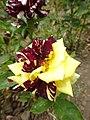 Троянда влітку.jpg