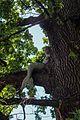 Ходосівський дуб IMG 9612 08.jpg