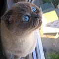 Шотландська капловуха кішка.jpg