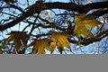 برگ زرد-پاییز-yellow leaves-falling leaves 05.jpg