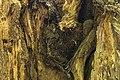 داخل درخت گردو - juglans 05.jpg