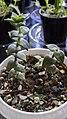 زوایای گیاه کراسولا-Crassula perforata 02.jpg