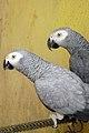 عکس طوطی نر و ماده در قفس.jpg