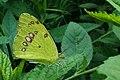 வெண் சிறகன் வண்ணத்துப்பூச்சி - White orange tip butterfly - Ixias marianne.jpg