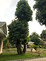 മരങ്ങളിലെ പുനർ യൗവന പ്രക്രിയ 602 .jpg