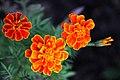 ดาวเรืองฝรั่งเศส ( French Marigolds ) (9).jpg