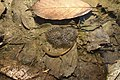 カスミサンショウウオと卵嚢 Clouded Salamander Hynobius nebulosus with eggs.jpg