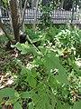 ヒナタイノコヅチ(日向猪子槌)(Achyranthes bidentata var. tomentosa、syn. A. fauriei) (6180061805).jpg