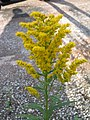 加拿大一枝黃花 Solidago canadensis -伯明翰 Selly Oak, Birmingham- (9213309663).jpg