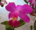 卡特蘭屬 Cattleya violacea v flamea -香港青松觀蘭花展 Tuen Mun, Hong Kong- (33995889800).jpg