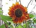 向日葵 Helianthus annuus 'Crimson Queen' -香港花展 Hong Kong Flower Show- (26172039007).jpg