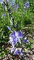 奧地利婆婆納 Veronica austriaca -維也納大學植物園 Vienna University Botanical Garden- (28515336075).jpg