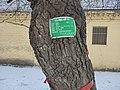 孙家集村的百年古槐树 2020-12-19 2.jpg