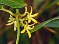 弓果藤 Toxocarpus wightianus -香港九龍坑山 Cloudy Hill, Hong Kong- (9213306757).jpg