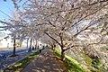 新川さくら並木(Shinkawa cherry trees) - panoramio (6).jpg