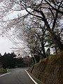 桜(ふる里陵草館前) - panoramio.jpg