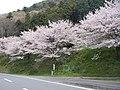 桜(寄畑) - panoramio.jpg