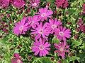 瓜葉菊(富貴菊) Pericallis hybrida (Senecio cruentus) -香港花展 Hong Kong Flower Show- (9193430838).jpg