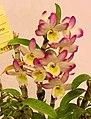 石斛蘭 Dendrobium Tdares Angel Emperor -台南國際蘭展 Taiwan International Orchid Show- (27006471138).jpg
