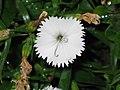石竹 Dianthus chinensis -香港沙田中央公園 Shatin Central Park, Hong Kong- (9240151822).jpg