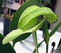 綠蟬 Bulbophyllum burfordiense -香港沙田洋蘭展 Shatin Orchid Show, Hong Kong- (9219892711).jpg