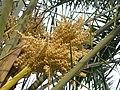 銀海棗(林刺葵) Phoenix sylvestris -香港青衣公園 Tsing Yi Park, Hong Kong- (9216131338).jpg