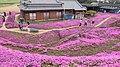 黒木さんちのシバザクラ - panoramio.jpg