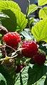 -365 june raspberries (27599222722).jpg