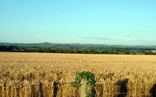 A wheat field in Dorset, England.