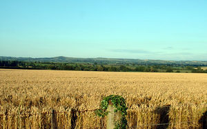 Cereal - A wheat field in Dorset, England