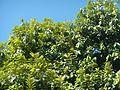 04544jfDiospyros blancoi Dampol Rueda Plaridel Pungo Calumpit Bulacanfvf 07.jpg