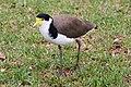 04 Masked lapwing (Vanellus miles) - fauna in Sydney, Australia.jpg