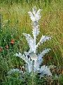 0 Onopordum acanthium.jpg