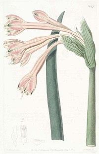 1497 Clinanthus fulvus