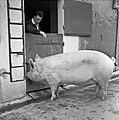 1958 visite d'une délégation INRA au Haras du Pin Cliché Jean Joseph Weber-30.jpg
