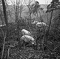 1960 Porcs en pature au CNRZ Cliché Jean-Joseph Weber.jpg
