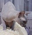 1 adult cat Sphynx. img 005.jpg
