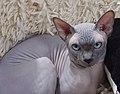 1 adult cat Sphynx. img 026.jpg