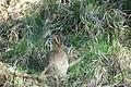 2010-04-17 (11) European rabbit, Wildkaninchen, Oryctolagus cuniculus.JPG