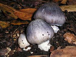 2010-12-04 Entoloma bloxamii 2 60253.jpg