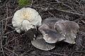 2011-06-07 Tricholoma saponaceum (Fr.) P. Kumm 149944.jpg