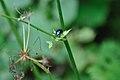 2011-08-04 13-13-51 Switzerland Unterwasser (Chrysolina coerulans).jpg