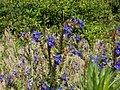 20120626Anchusa officinalis3.jpg