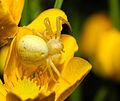 2013-06-07 21-18-29-thomisidae.JPG